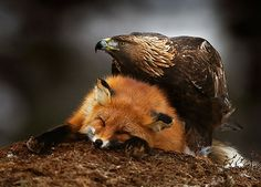 golden eagle with red fox  (photo by brutus ostling)