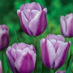 Silverstone Tulip Bloom Time: Mid Spring Size: 7-8 cm Height: 14-16""