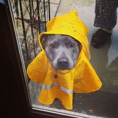 My pitbull Piglet in her little yellow raincoat - Imgur