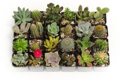 20 beautiful succulents and cactus. No two are alike! Your plants are chosen daily by health and readiness. Your plants will be mailed to you in 2