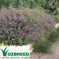 MEEMA Hardenbergia violacea 'HB1' Meema is a tidy small groundcover with a shrubby habit. It will grow 30cm to 45cm tall and have a spread of approximately 1.5metres. Meema can be trained to grow on a trellis where it may reach 2 metres tall making it a great screening plant if desired, otherwise left untrained it forms a tidy small hedge. The beautiful purple pea flowers are a real feature of Meema.