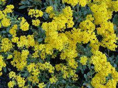 alyssumsaxatileCompactumGoldkugel.JPG (600×450) tařice skalní, 20 cm výška, květ žlutý, list modrý
