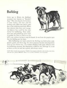 Bulldog print from 1954