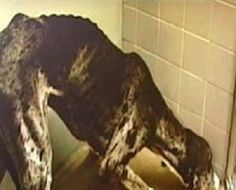 """The couple faced charges after their 2-year-old Great Dane, """"Zack,"""" was discovered weighing a dismal 87 LBS back in Nov. 2010. A healthy, normal weight for this breed of dog ranges from 120 to 150 LBS.    Zack received intensive veterinary care, but died just weeks later. According to the veterinary clinic which treated him, Zack died from heart issues stemming from starvation.  The jury found that the couple had not provided adequate care for their dog."""