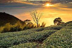 Tea field @梅山茶園