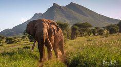 King - A bull elephant at Tsavo Kenya