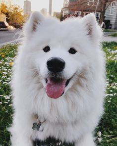 Samoyed dogs full grown so cute. White Boxer Puppies, White Dogs, Boxer Dogs, Dogs And Puppies, Doggies, Dog Treat Container, Puppies With Blue Eyes, Wrinkly Dog, Unique Dog Breeds