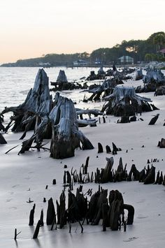 Cypress Stumps -- Carrabelle, FL