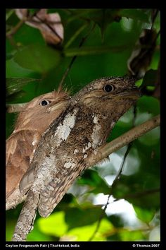 The frogmouths are a group of nocturnal birds related to the nightjars. They are found from the Indian Subcontinent across Southeast Asia to Australia.