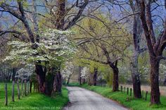 Sparks Lane. Spring Dogwood on Sparks Lane, Great Smoky Mountains National Park, Tennessee  by Joseph Rossbach on 500px.
