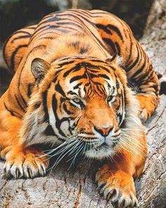 Photo of a tiger (testing automated system )