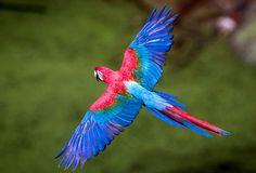 Parrot flying (Guetemala) - Google