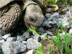 How Long do Tortoises Live? The Life of a Tortoise Tortoise As Pets, Tortoise Turtle, Reptiles, Crocodile, Hermann Tortoise, Turtle Habitat, Red Eared Slider, Pets 3, Tortoises