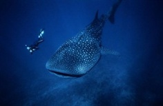 Go swimming with a whale shark