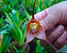 "'Here is Dracula simia from the cloud forests of Ecuador, often called the ""monkey orchid"" for obvious reasons.' (via Orchids mimic simians « Why Evolution Is True)"