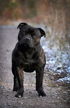staffie! Oh my gosh... that's a stud muffin of a dog!