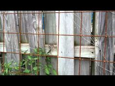 Wire Mesh Trellis, Rusty, for Veggies. Remesh. Rusty metal trellisses are trendy. I saw a rusty metal trellis at Armstrong today that was $100 or $200 or more. It was probably made of this wire mesh bent into an arch.