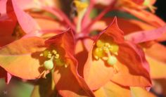 Close-up of Euphorbia griffithii Fireglow. Zone 3, 30 inches tall.