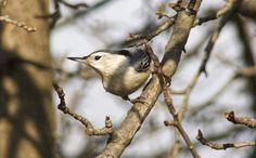 https://flic.kr/p/QWnZMD   White-breasted Nuthatch