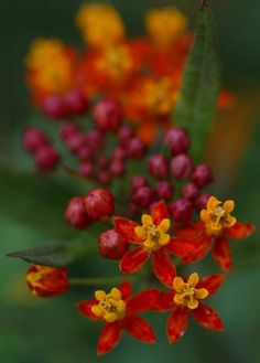 South American blood flower (Asclepias curassavica), leafy all year, is food for the Monarch butterfly larvae.