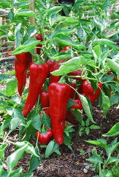 'Carmen' Italian bull's horn (Corno di Toro) peppers are great for roasting, slicing or stuffing.  To learn more about growing peppers like these, see http://www.grow-it-organically.com/growing-peppers.html.