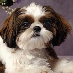 Discover Energetic Shih Tzu Puppies Exercise Needs Shitzu Puppies, Cute Puppies, Cute Dogs, Dogs And Puppies, Doggies, Havanese, Puppys, Perro Shih Tzu, Shih Tzu Puppy