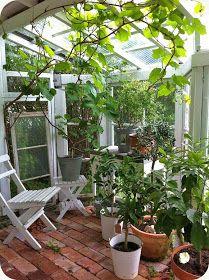 I dag var jag nere vid växthuset och spanade. Vinrankan växer som ogräs och mängder av små druvklasar hänger ner från taket. Jag tänkte ...