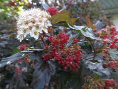 Speciman trees - 'Diablo' Ninebark   Purple leaf foilage, spring flowers, fall berries.