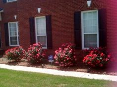 tips for caring for knockout roses