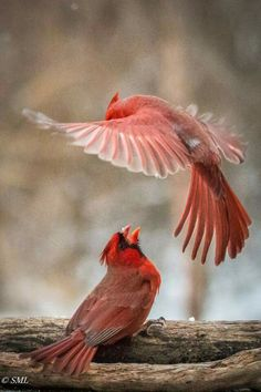 Two Northern Cardinals.