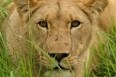 Lioness In Long Grass Royalty Free Stock Photo, Pictures, Images And Stock Photography. Image 5169048.