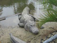 Alligator Farm -- Myrtle Beach, SC 2011 Alligators, Crocodiles, Amphibians, Reptiles, Alligator Hunting, Carolina Usa, Education Humor, Tortoises, Adventure Awaits