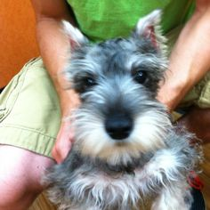 I'm so in love with mini schnauzers it's not even funny