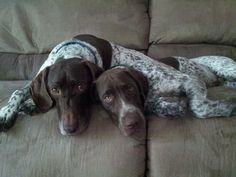 German Shorthaired Pointers (GSP)