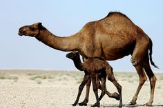 Large one hump Dromedary camel with calf