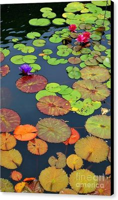 Water Lilies I by Nancy Mueller waterlilies Lotus Pond, Water Flowers, Lotus Flowers, Lily Pond, Jolie Photo, Water Garden, Garden Pond, Painting Inspiration, Flower Art