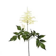 White Astilbe Flower ia a hardy flower with a delicate look. Use alone to create a lush romantic bouquet, or combine with other flowers and greens to create a look all your own. These flowers are a great choice for adding texture to any floral creation. Astilbe is available June to Novemeber and,...