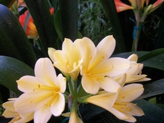 Beautiful Light Yellow Clivia.  http://www.facebook.com/pages/American-Plant/111708498851820 http://www.americanplant.net/index.php