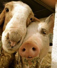 Friends, not food ♥  Go vegan- visit www.ChooseVeg.com to find out how!
