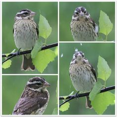 JBigg's Little Pieces: Looking Out the Window: Rose-breasted Grosbeak