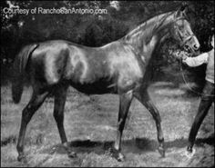 DONCASTER ch h. 1870 note white spot rib area, by Stockwell x Marygold (Rajah Sahib ancestor )