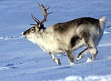 The reindeer (Rangifer tarandus), also known as the caribou in North America, is a deer from the Arctic and Subarctic, including both resident and migratory populations. While overall widespread and numerous,[1] some of its subspecies are rare and one (or two, depending on taxonomy) has already gone extinct.