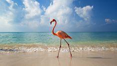 Phoenicopterus paseando por la playa.  Las crías de flamenco salen del cascarón con el plumaje blanco, pero las plumas del adulto son de color rosa luminoso a rojo, debido a carotenoides obtenidos de su alimento. Un flamenco que se alimenta bien y es saludable es de color rosa luminoso a rojo. El flamenco más rosado es el más deseable como compañero. Un flamenco blanco o pálido está generalmente enfermo o sufrido de falta de comida.