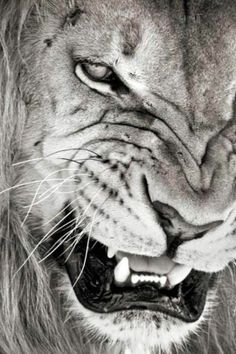 #Lion #Roaring with #strong #look #Wild #Nature #agressive #Beautifull #Awesome