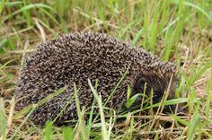 Jeż - Hedgehog