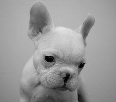 baby french bulldog <3