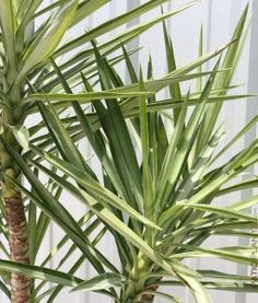 12ca05c48f0bf3b30858c3feaeeac603--plants-for-sale-yucca Palm Trees Houseplant Identification on indoor palm identification, palm bushes identification, palm tree identification,