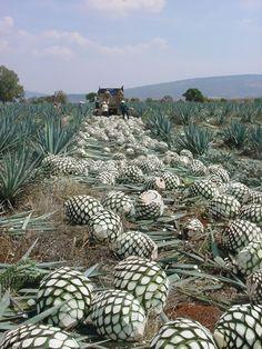 Cosecha de agave, en los campos de la región de los Altos de Jalisco. El estado es conocido por su producción de Tequila, una bebida reconocida a nivel mundial.