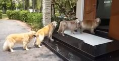 The Most Obedient Dogs Ever? Golden Retrievers Queue For Paw Cleaning In Cute Video Animals And Pets, Funny Animals, Cute Animals, Dog Pictures, Best Funny Pictures, Golden Retriever Training, Gato Gif, Best Dogs, Your Dog