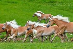 #horses Young Haflinger Stallions Galloping In Spring Meadow Austria